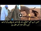 The Labour drinking camel pee as a water for boss in Saudi arab عرب بدوؤں نے جنسی طات کے لئے اون&#