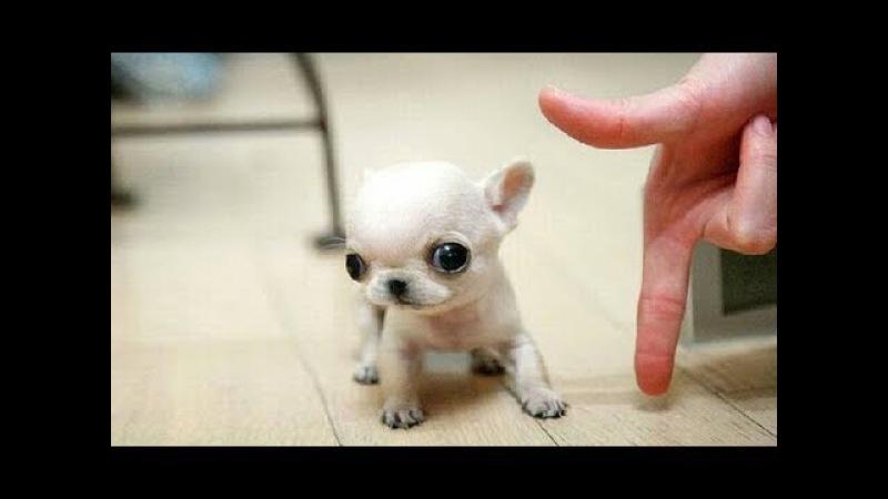 Агресивный Чихуахуа Собакены