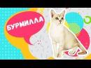 ТОП 5 фактов о шикарной кошке породы Бурмилла. Познавательное видео шоу: Кошки, к ...