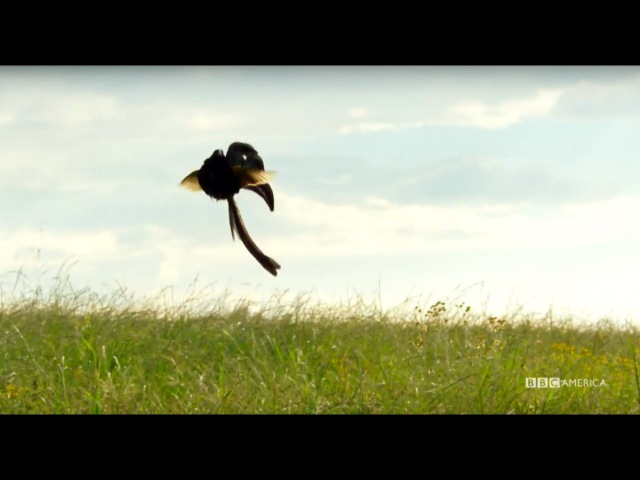 Widowbirds Compete For Love In A Jumping Contest Planet Earth II