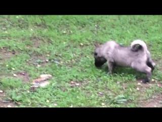 #кангал #хочущенка #kangal #настоящийкангал #щенкаизтурции #турецкаясобака #купитьсобаку #VIPkangal