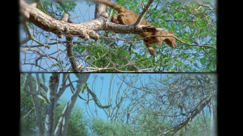 BBC: Жизнь млекопитающих. Жизнь на деревьях (8 серия)