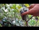 размножение цитрусовых воздушными отводками