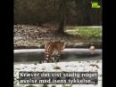В Дании амурская тигрица решила грациозно пройти по льду, но провалилась