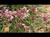 Дикий Лук Ша Цун, дословно Лук в песке. Уникальное, магическое (волшебное) растение Чжэ Чжун ШэньЦи Чжиу ЦзюШи зас