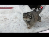 Манул и снегопад