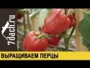 Особенности выращивания толстостенных перцев- знакомимся с гибридами от «Партнера» - 7 дач