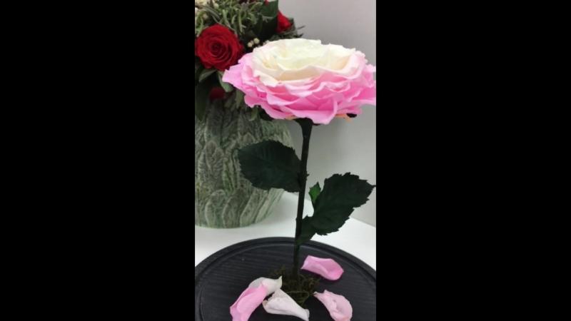 Роза в Колбе Крым VeGaCrimea