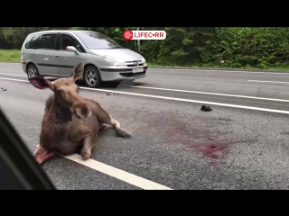 ДТП с лосем на 135 км Минского шоссе