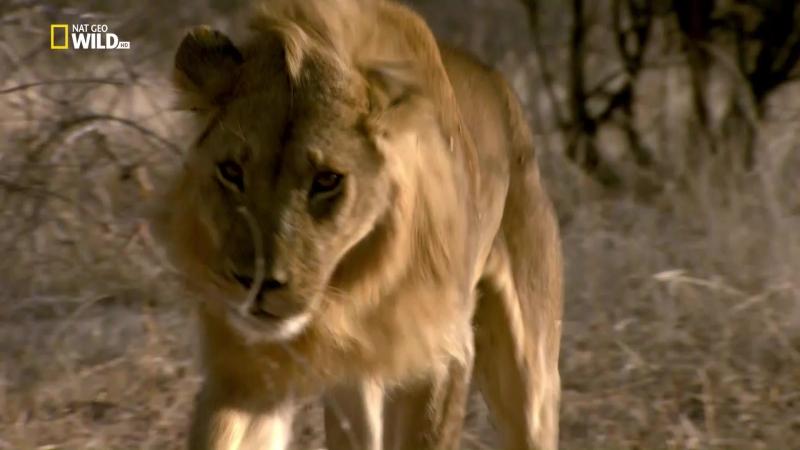 National Geographic Львиное королевство Кровная вражда 3 серия из 3 HD 1080