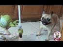 FRENCH BULLDOG VS YODA - Frenchie Dog Apple & Pug Chihuahua Gus Chug fight Legendary Star Wars Jedi