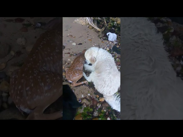 Un chien sauve un faon de la noyade ...Long Island