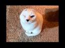 """Он похож на тюленёнка…"""" Девушка решила взять из приюта лечебного кота и не"""