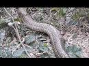 Гигантская змея во Вьетнаме || ViralHog