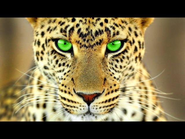 Жизнь дикой кошки - Леопард. Глаз леопарда. Документальный фильм HD