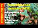 Сентябрьские маслята 2017. Сбор грибов в сосновом лесу в Липецкой области.