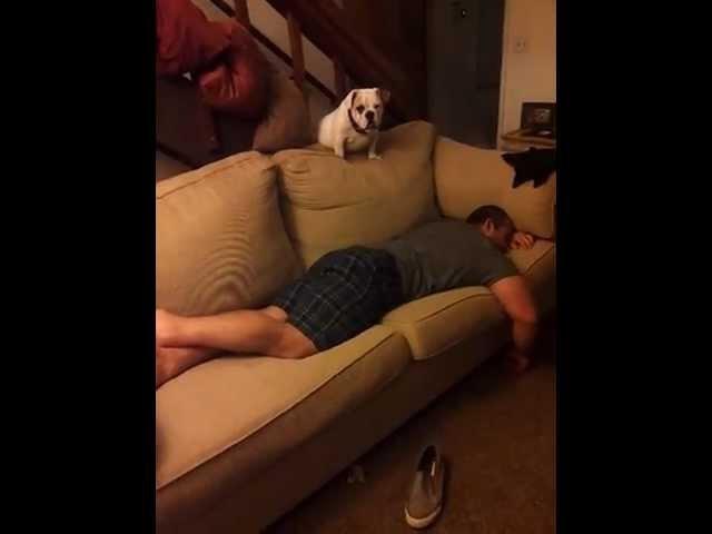 Cute English Bulldog Puppy Plops on Sleeping Crossfitter
