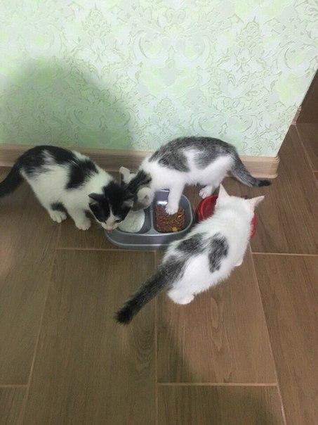 Отдам котят, черненькая и беленькая девочки, серенький мальчик. Подобр