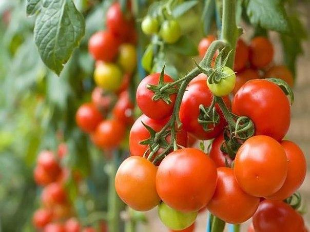 Молоко и йод против фитофторы томатов