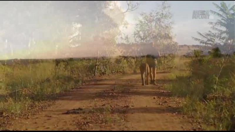 Animal Planet. Человек и львы (Джабула заказник больших кошек) / The Lion Man: Jabula Big Cat Sanctuary / 2014 / 8