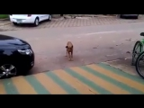 Dancing dog (distemper).mp4
