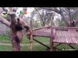 Падающие панды