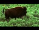 Мир дикой природы. Животные Америки. Бизоны. Документальный фильм National Geogr