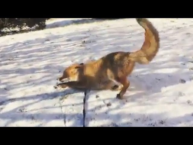 Adorable red fox playing in the snow