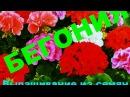 Бегония. Выращивание из семян. От посева до всходов (ч. 1). Begonia from seed. Кратко, чётко ...