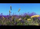 Красивое видео. Лавандовое поле, звуки природы, птицы поют, природа, место силы, релакс, медитация.