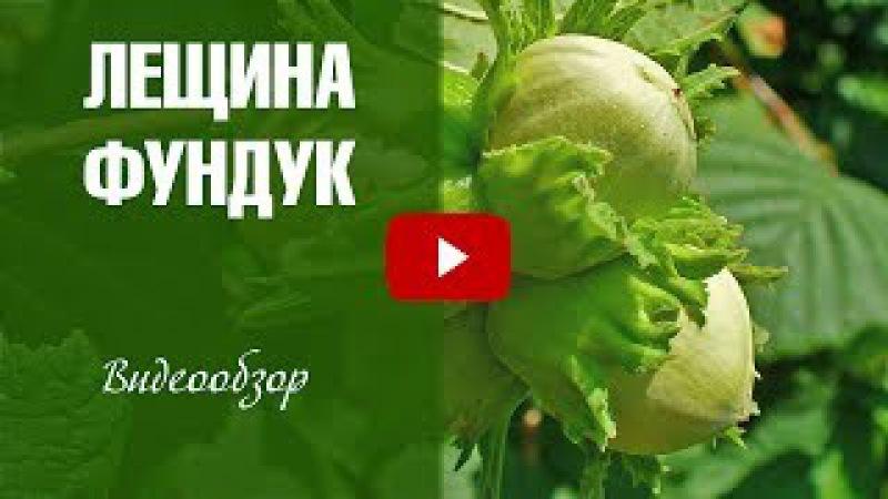 Лещина обыкновенная ➡ Посадка и уход 🌟 Видеообзор hitsadTV