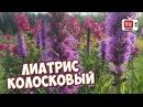 Неприхотливые цветы для сада 🌸 ЛИАТРИС КОЛОСКОВЫЙ 🌸 Посадка выращивание уход