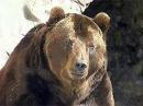 ВКемеровской области участились случаи нападения медведей налюдей