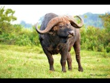 Играем в Wild Animals Online за буйвола.