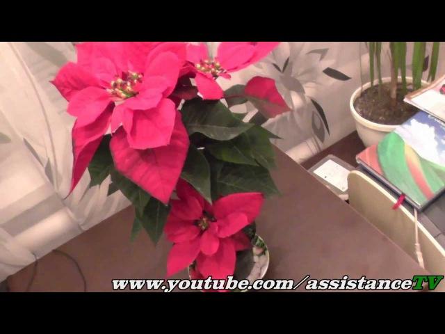 Цветок Пуансеттия - Рождественская звезда!