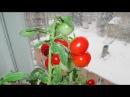 Как вырастить томаты на окне Нужен качественный грунт