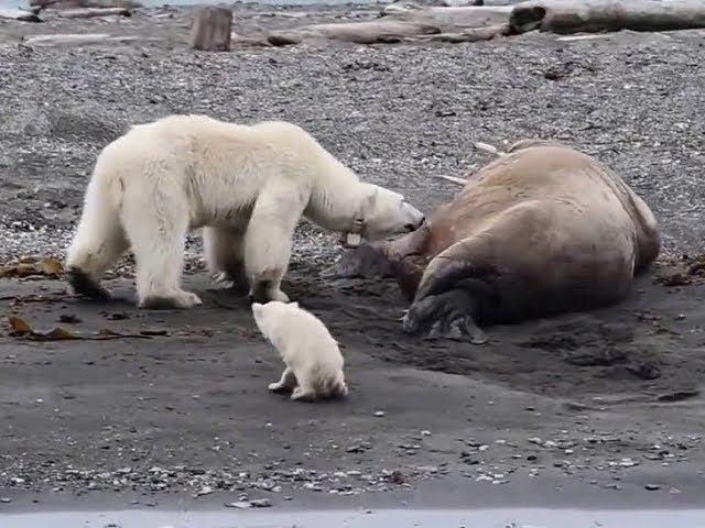 Polar bear with cub flees after waking up sleeping walrus