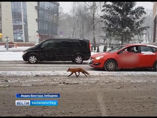 В Калининграде продолжаются приключения лисы