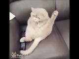 Кошка поёт песню битлс на диване