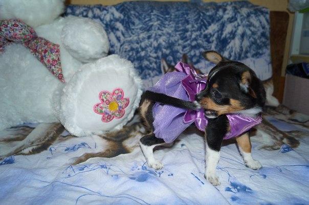 Всем Здравствуйте, продается милая девочка мини-чихуахуа, игривая, лас