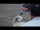 Собачьи бой Тобет против двух питбулей.480