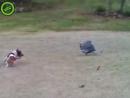 Цесарка гоняет собаку