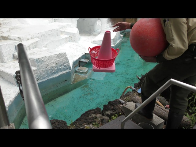 Polar Bear and the keeper【4K】ホッキョクグマのイっちゃんと飼育員さん【天王寺動物園12