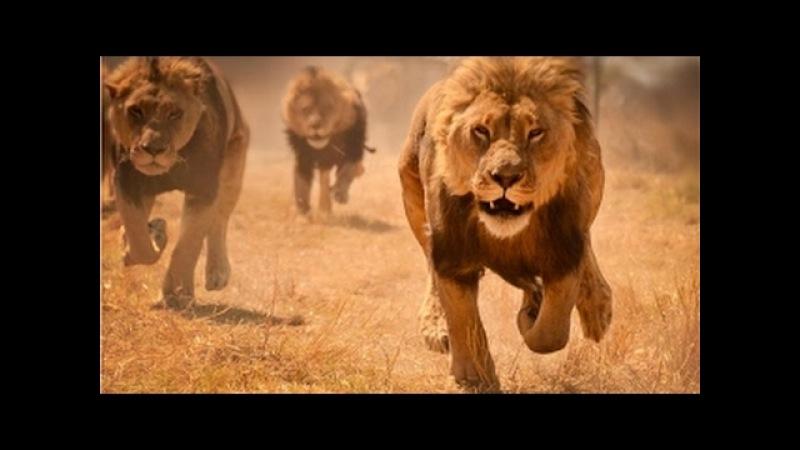 Лучший фильм про львов ПОСЛЕДНИЙ ЛЕВ National Geographic HD