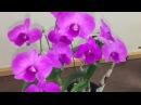 Клуб орхоголиков. Предпраздничное заседание. Цветение орхидей . Хабенария, дендробиум, ванда и др.