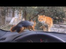 Direksiyonda sincap, kaputta da kedi olursa ne olur? Sincap Alf the Squirrel