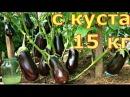 ВЫРАЩИВАЕМ БАКЛАЖАНЫ от семян до урожая