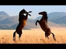 Животные мира Дикая лошадь Пустыня Намиб Запад Африки Самая засушливая Особенное место Путь пастбищ