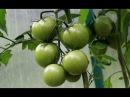 Уход за томатами во второй половине лета Поликарбонат ГРИНХАУС НАНО часть4