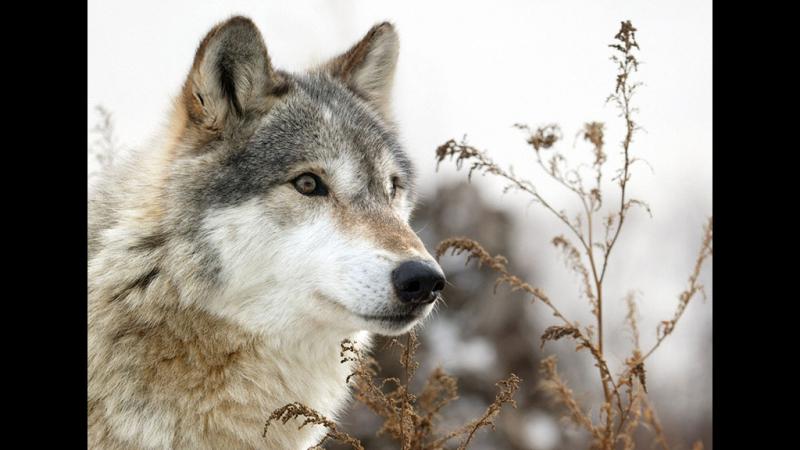 Тропой волка. Документальный фильм » Freewka.com - Смотреть онлайн в хорощем качестве